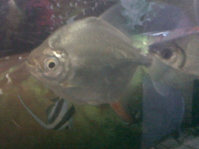 Acuacol peces ornamentales for Peces ornamentales