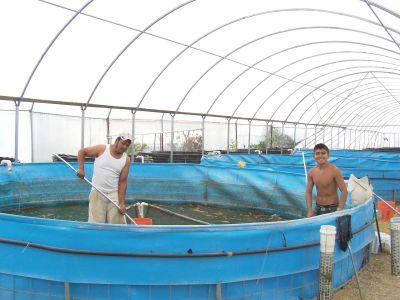 Alevinos del valle org agroacuicola cult vo tilapia for Construccion de estanques para tilapia