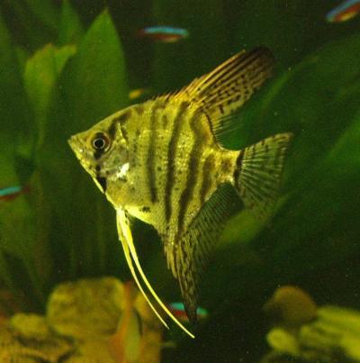 Aquaristikecke orinoco skalar for Siamesischer kampffisch haltung
