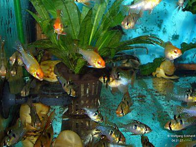 Aquariumfreunde gie en und umgebung fische u zucht for Skalare zucht