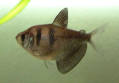 Herzlich willkommen auf meiner seite aquariumbewohner for Robuste zierfische