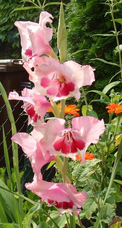 Alır en alttaki kandil şişerek çiçeğin petal rengi görülür