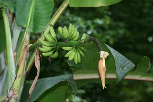 Thomson Banane 10x Bananen Samen Musa thomsonii Frosthart