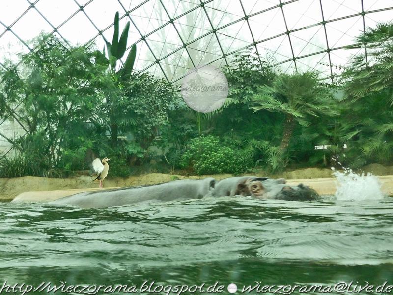 Die Innenraumaufnahme zeigt ein grosses schwimmendes Zwergflusspferd in seinem Gehege des Berliner Zoologischen Gartens und im HG des Bildes eine sich aufrichtende fluegelschlagende Gans