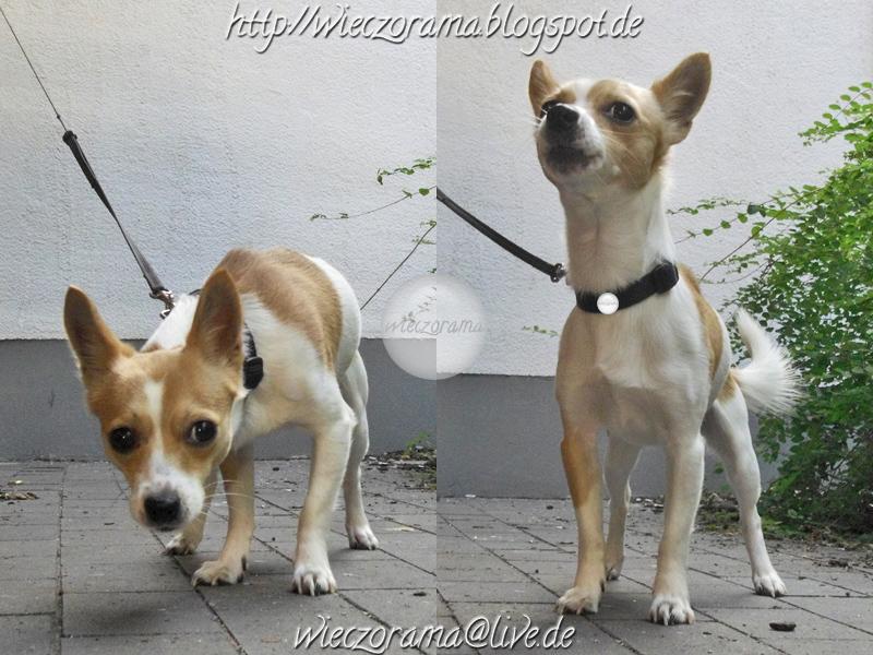 Die Montage besteht aus zwei Fotos die einen wartenden Hund zeigen der auf die Kamera reagiert und seine Koerperhaltung sowie Mimik veraendert