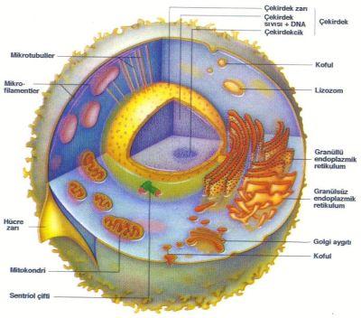 Hücrenin bölümleri