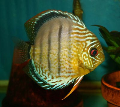 Wild green Discus from Rio Nanay