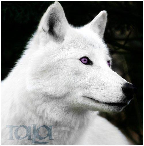 Weise Wölfe