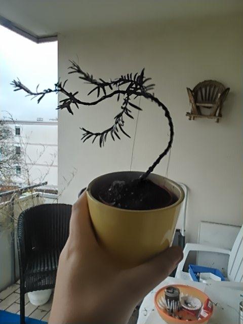 eiben bonsai pflegen schneiden veredeln green24. Black Bedroom Furniture Sets. Home Design Ideas