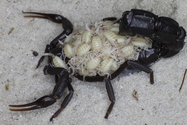First offspring after hibernation 2015 A.liouvillei_I1