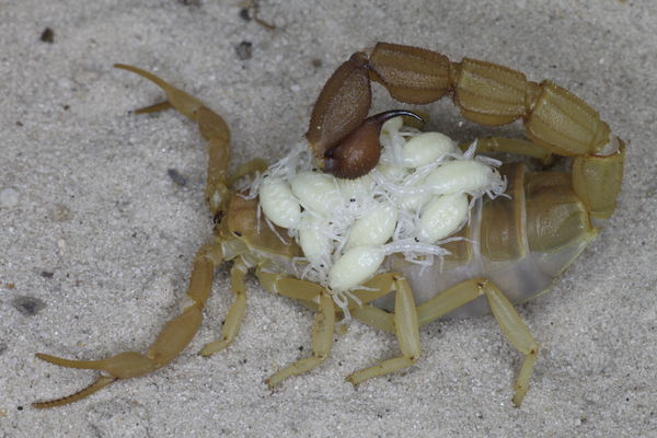 First offspring after hibernation 2015 P.planicauda_I1