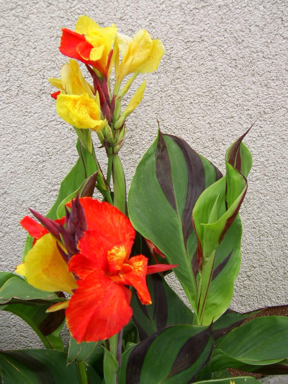 Цветок канна (45 фото все о видах, размножении, посадке)