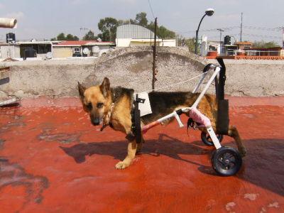 Carrito para perro discapacitado galeria de fotos for Carritos para perros