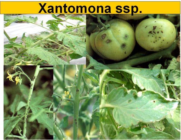 Bacteria: Xantomona Xantomona