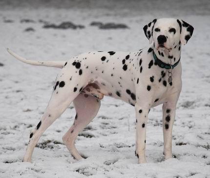 Der dalmatiner canis lupus familiaris dalmatiaris