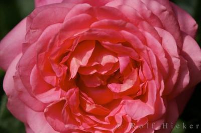 Rosen - Rosengedichte, Gedichte zum Thema /