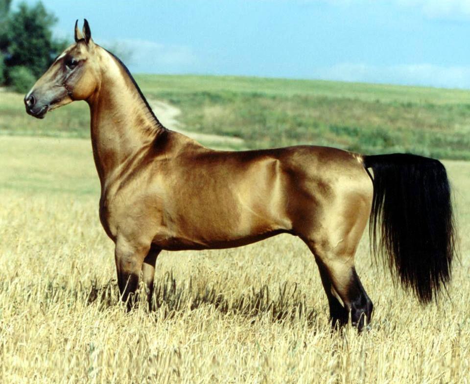 turkish horses, ahal teke, eti, türkmen eti
