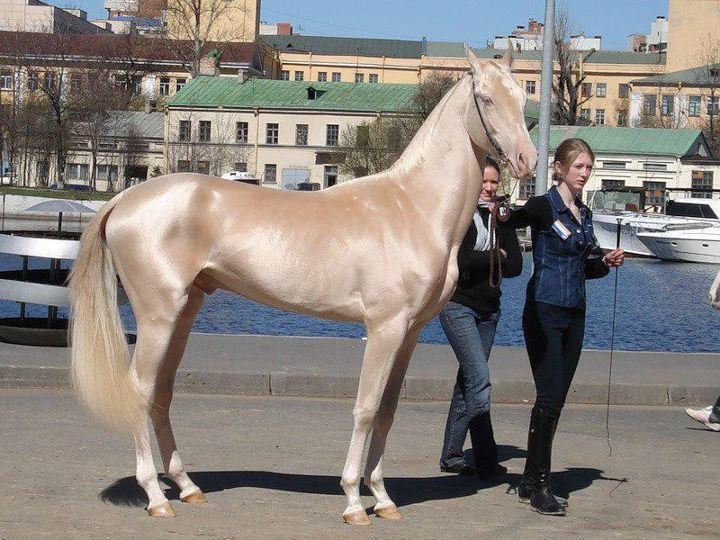 akhal, teke, ahal, türk, atı, türkmen, at, horse