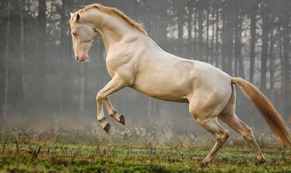 ahall teke atı, turk horse