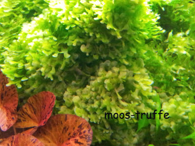 3 x echter s wassertang lomariopsis lineata moos auf stein aquarium pflanzen ebay. Black Bedroom Furniture Sets. Home Design Ideas