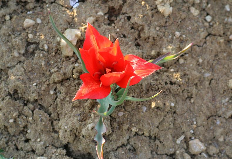 Tulipa armena BOISS, palas lalesi, kayseri