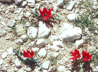 Tulipa armena BOISS, palas lalesi, kayseri, boiss