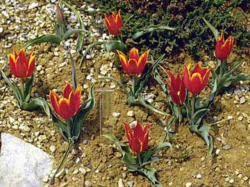 Tulipa armena BOISS, palas lalesi, kayseri, boiss, yabani lale