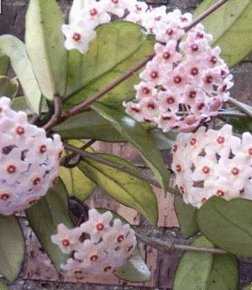 La violeta ramos tocados plantas flores for Plantas aromaticas de interior