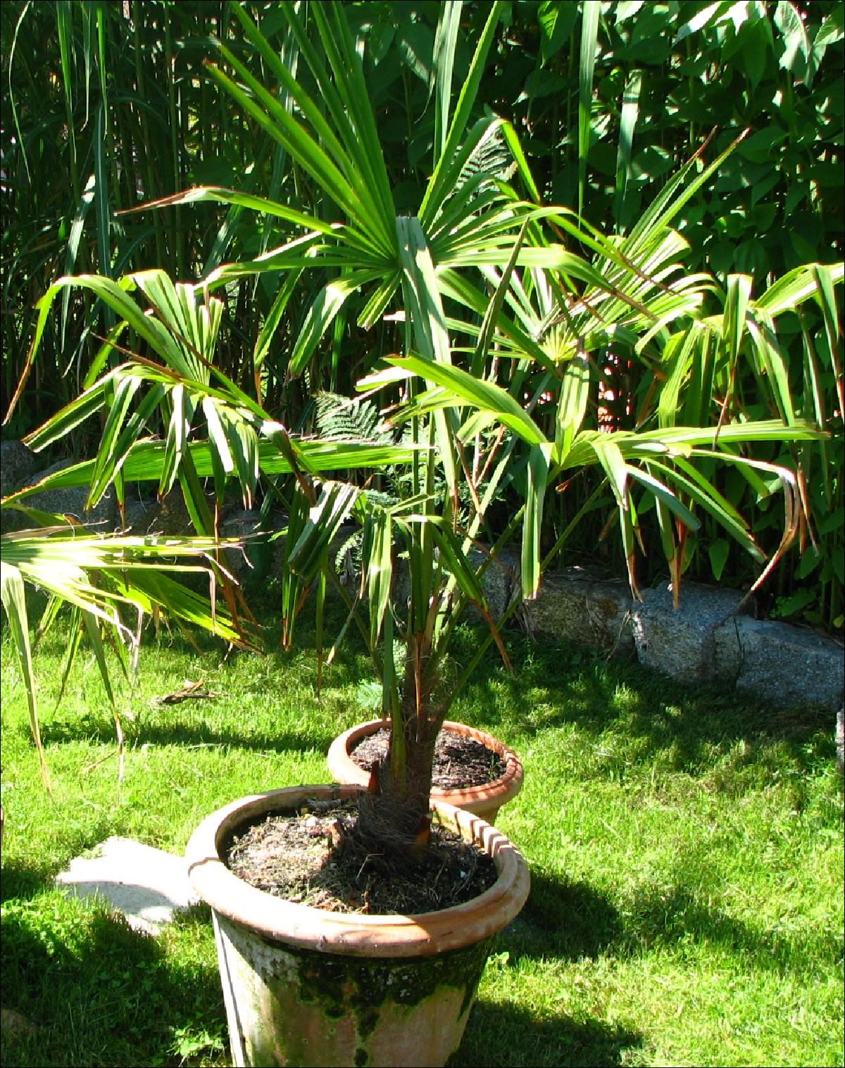 exoten garten trachycarpus fortunei. Black Bedroom Furniture Sets. Home Design Ideas