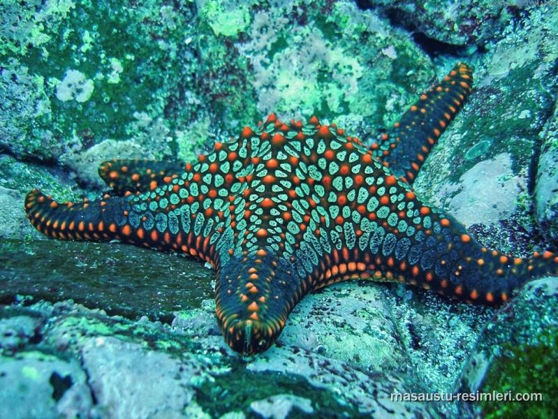 Real starfish underwater - photo#22