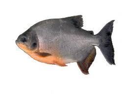 Fishcss peces tropicales for Pez cachama