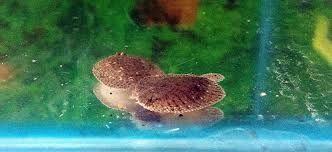 Fishcss peces tropicales for Pez cuchillo cristal