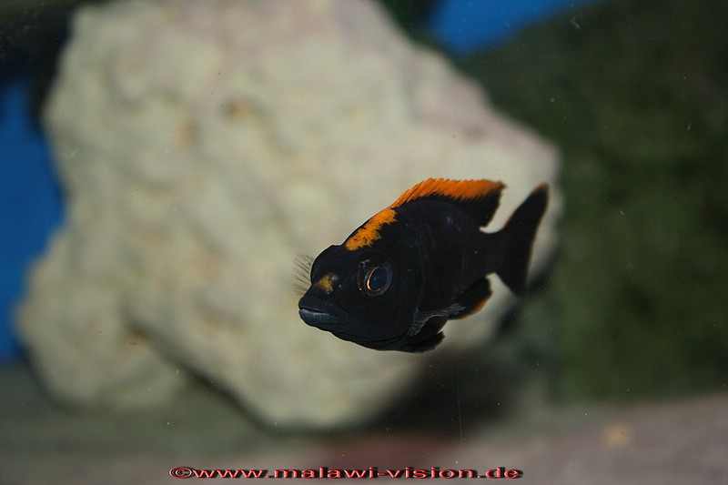 Otopharynx Lithobates Black orange DorsalOtopharynx Lithobates Black Orange Dorsal