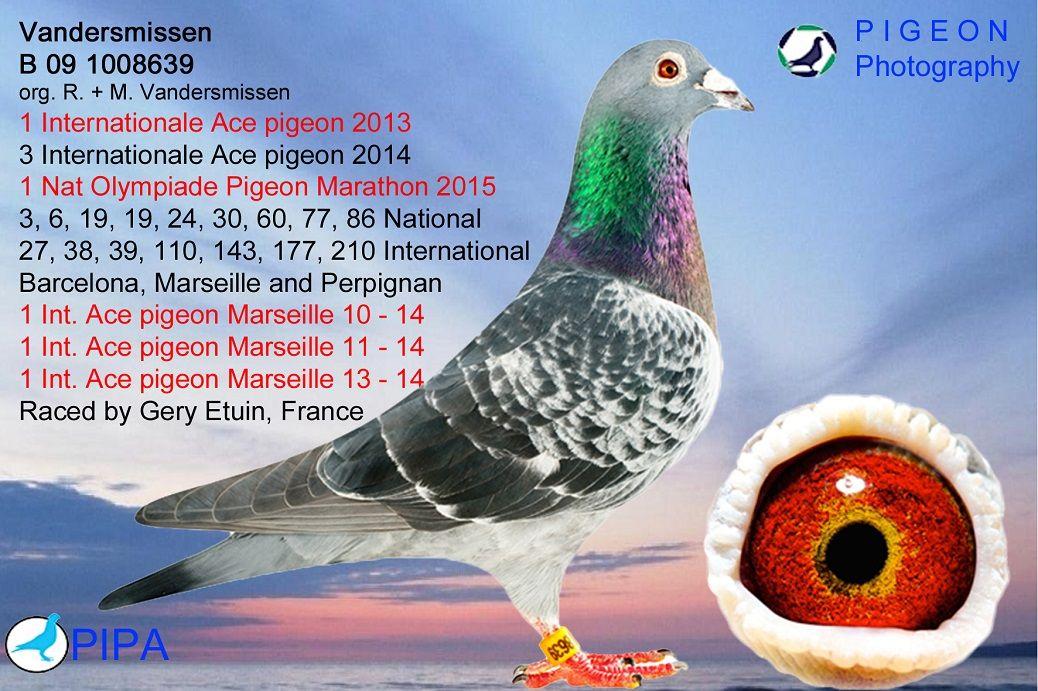 Racing pigeons eye signs pairing