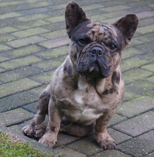 Frenchbulldogsallcolors Makers