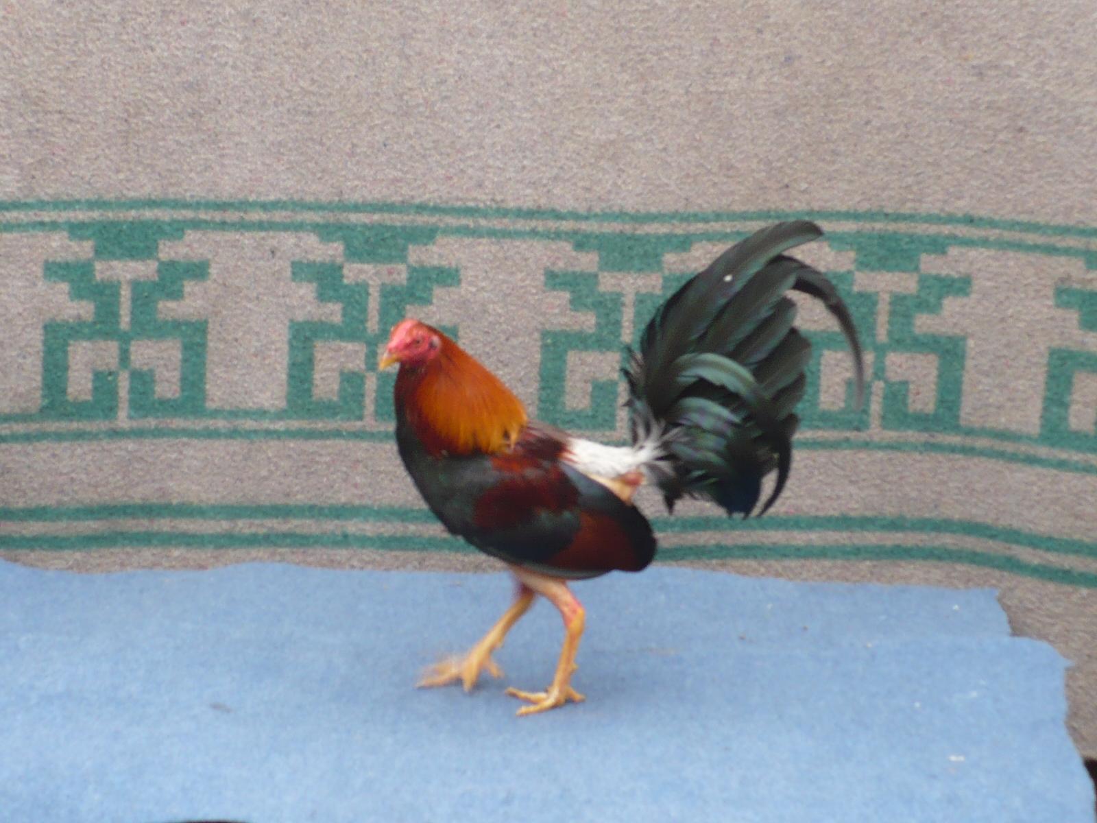 Cómo criar un buen gallo | eHow en Español