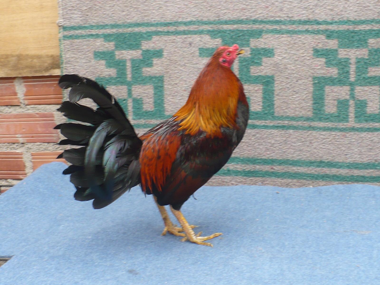 Cómo criar gallinas | Cuidar de tu mascota es facilisimo.com