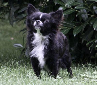 Genuine Chihuahuas - B...