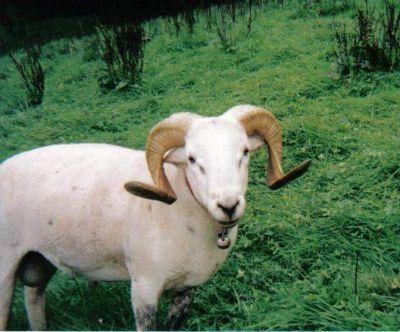 Nolana, Dorper, Haarschafe, Wiltshire Horn, Kamerun
