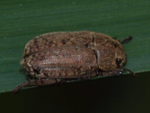 Scarabaeidae rutelinae adoretus compressus