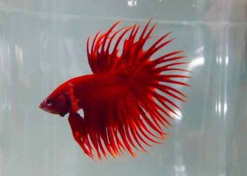 Hobbybettasplendens i colori del betta for Pesce rosso butterfly