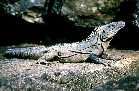 adulto de iguana negra 2