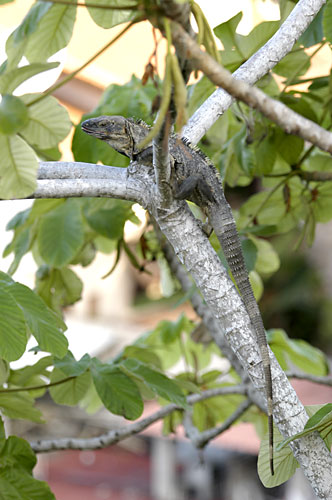 adulto de iguana negra 3