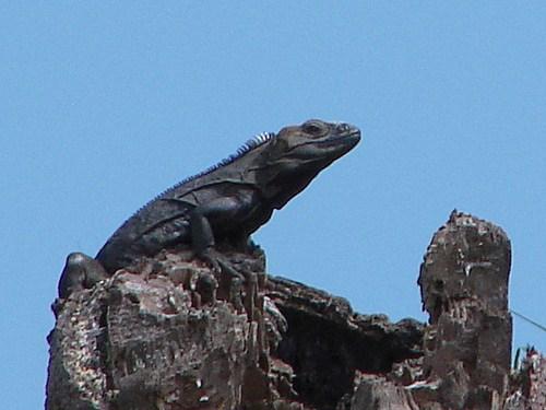 iguana negra adulto