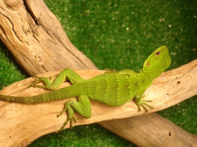 2. IGUANA NEGRA Iguanas México