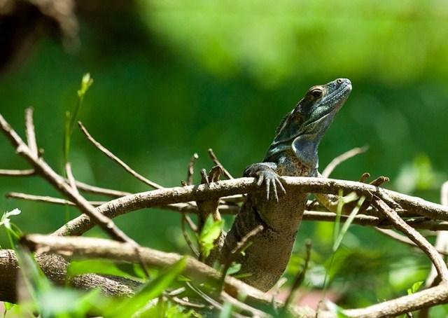 iguana negra juvenil