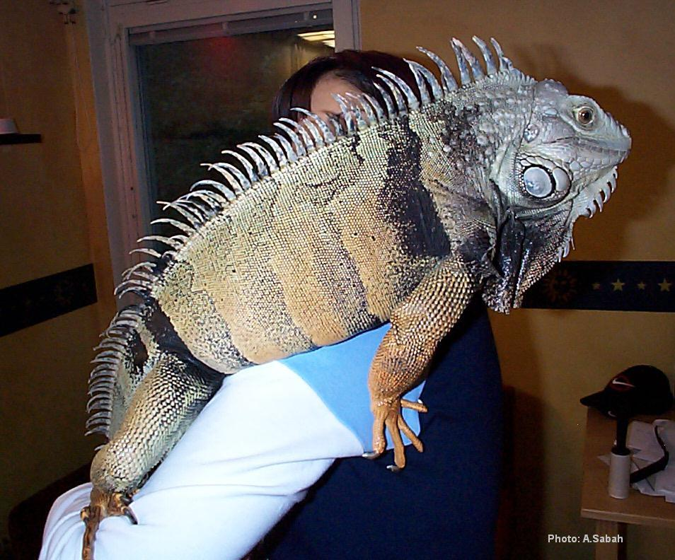 Full-Grown Iguana Pet