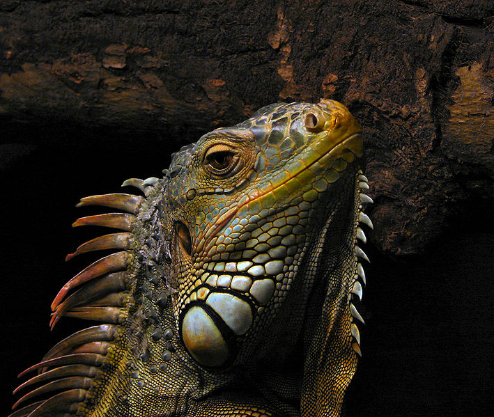 Adulto de Iguana Verde 2