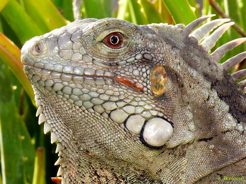 Adulto de Iguana Verde 3