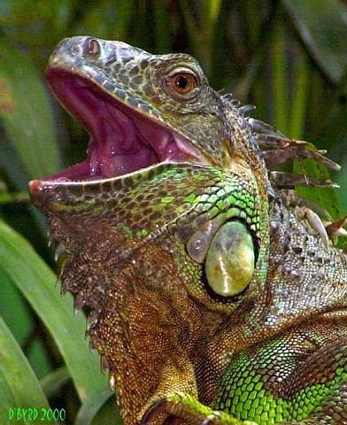Adulto de Iguana Verde 4